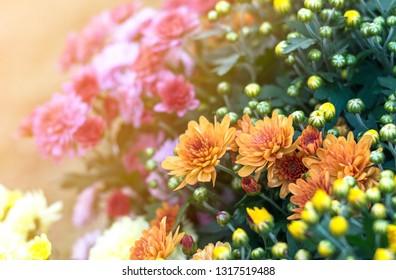 sunlight chrysanthemum flower blooming in garden