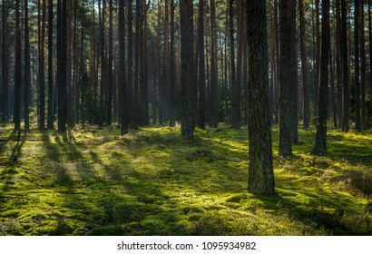 sunlight in the clear pine forest