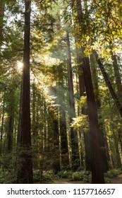 Sunlight coming through redwood trees