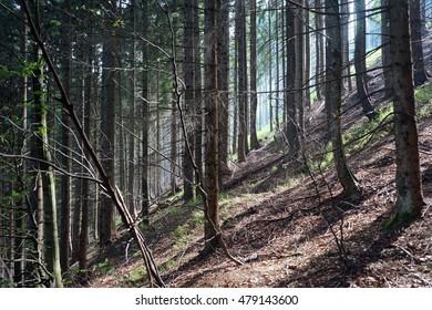 Sunlight in the dense forest in Austria