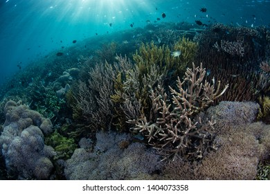 Sunlight descends on a fragile yet healthy and colorful coral reef in Komodo National Park, Indonesia. This tropical area is known for its high marine biodiversity.