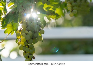 sunlight during wine harvest