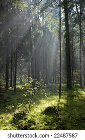 Sunlight entering misty coniferous forest just rain after