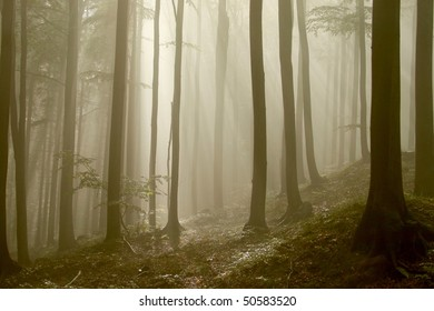 Sunlight falls into the misty autumn forest with beech trees growing on the slope.