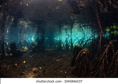 Sunlight filters into a dark, blue water mangrove forest in Raja Ampat, Indonesia. Mangroves serve as important tropical habitat for many juvenile fish and invertebrates.