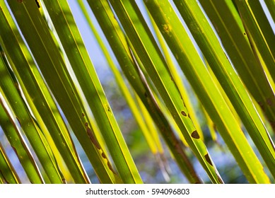 Sunlight filters through coconut fronds, filling the frame to create a beautiful detailed image suitable for a background or all by itself