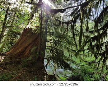 Sunlight filters through the moss-laden branches of the large trees of Cathedral Grove, MacMillan Provincial Park, British Columbia