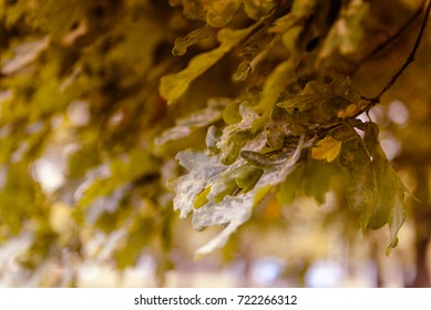 Sunlight in fresh oak tree leaves in summer and autumn