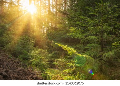 Sunlight in green forest at sunrise. Landscape of summer forest with warm sunbeams through trees. Natural scene of woodland in the morning.