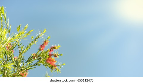 Sunlight on Australian callistemon blossoms condolence funeral background with clear blue sky, red flowers and green leaves