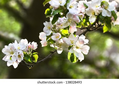Sunlight on branch with appleblossom on appletree in spring - horizontal