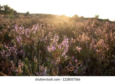 Sunlight on flowering heath in the Lueneburger Heath, Germany