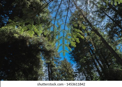 Sunlight on pine tree in Forest