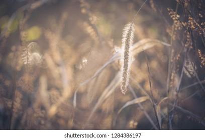 sunlight on setaria