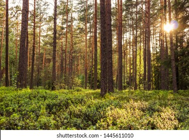 Sunlight on trees in a pine forest at sunset. Summer nature landscape.