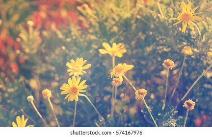 sunlight on yellow summer daisy flowers with soft pastel tones growing in garden
