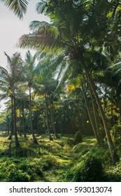 Sunlight in palm forest in Kerala, India