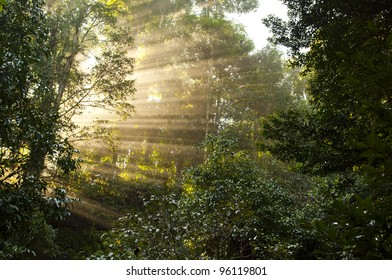 Sunlight passes through the trees in the misty forest