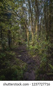Sunlight peeking through the forest and hiting a set of trees along the walking trail. Phot taken in Taranaki National Park, New Zealand