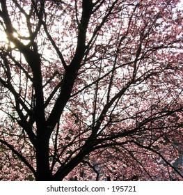 Sunlight Peering through Cherry Blossom