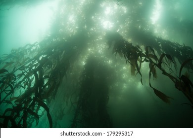 Sunlight penetrates the canopy of a kelp forest growing off the coast of California. Giant kelp (Macrocystis pyrifera) grows along the Pacific coast and provides vital habitat for many organisms.