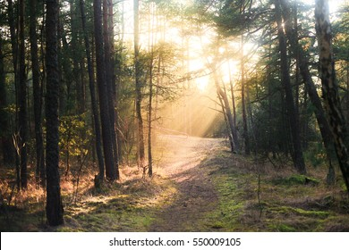 sunlight in pine forest