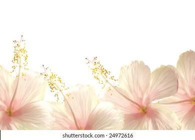 sunlight pink hibiscus flower border