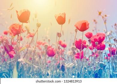 sunlight and poppy plant