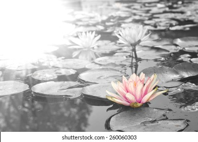 Sunlight radiated into Lotus,Pink Lotus flowers  (Nymphaea,Waterlily)  in the Garden, Black and white style