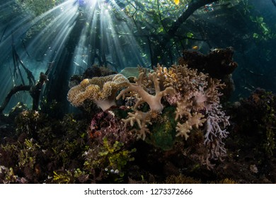 Sunlight shines into the shadows of a blue water mangrove forest in Raja Ampat, Indonesia. Mangrove habitat provides vital nurseries for many reef fish and invertebrates.