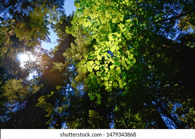 sunlight shines through the green branches of maple in a rainforest in the Cathedral Grove on Vancouver Island, Vancouver Island, MacMillan Provincial Park Canada