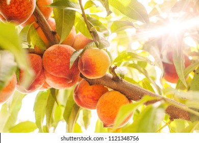 sunlight shines through the leaves of a peach tree, ripe and juicy peaches on a branch