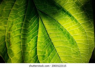 Sonnenlicht hinter grünem Blatt