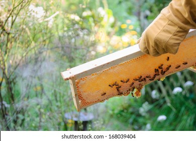 Sunlight shining through honeycomb frame with honey bees being held with gloved hand.