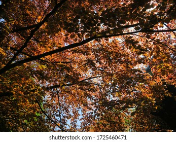 sunlight shining through the leafs and branches of a large red beech