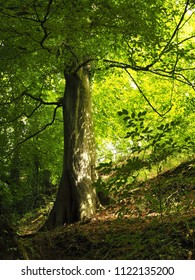 Sunlight shining through the leaves of a beech tree in a park