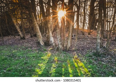 sunlight shining through silver birch trees and causing rays of light on the green grass and sun flare