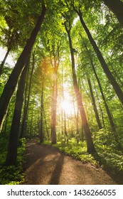 Sunlight shining through tall trees in a forest with a curved walking path.