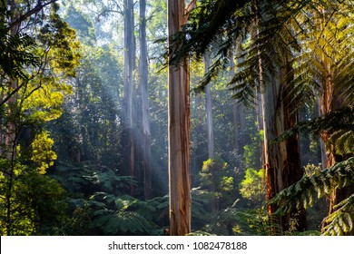 Sunlight shining through tree canopy - native Australian forest