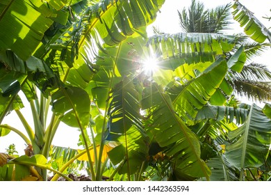 Sunlight shining trough a banana palm trees plantation on a summer afternoon