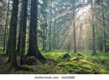Sunlight shinning across spruce trees