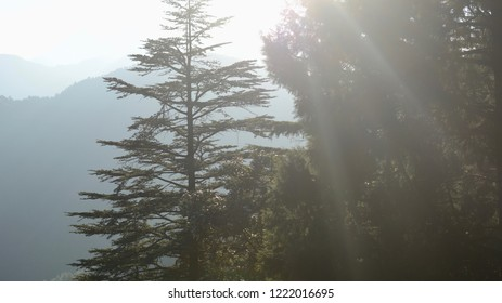 Sunlight Sifting Through Pine Trees In Indian Hilly City