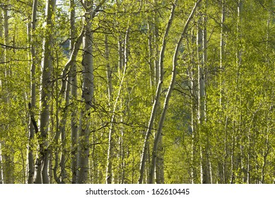 Sunlight streams through an aspen forest in summer in the Rocky Mountains