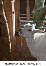 Sunlight strikes over this sweet little  young white milk goat.