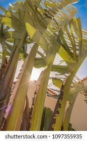 Sunlight through the banana-like leaves of a large Strelitzia nicolai, white bird of paradise palnt