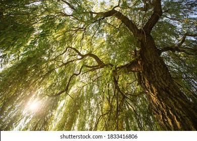 Sunlight through beautiful willow tree