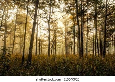 Sunlight through the fog on a tree farm in Alabama.