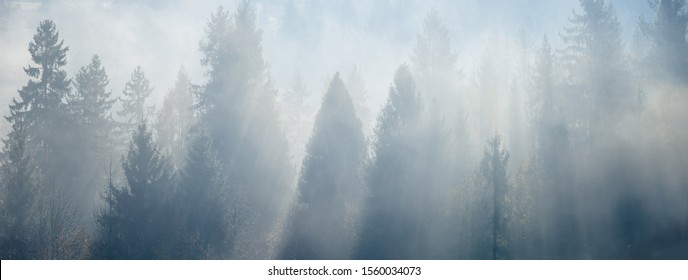 Sunlight through the foggy spruce trees at early morning. Mountain hill forest at autumn foggy sunrise. Wide panorama.