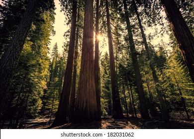Sunlight through the Forest, Mariposa Grove, Yosemite National Park, California