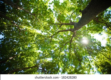 Sunlight Through Green Tree Crown - Low angle view